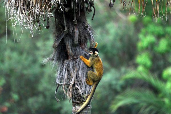 le singe-écureuil ou saïmiri
