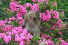 Le singe et le Bougainvillier