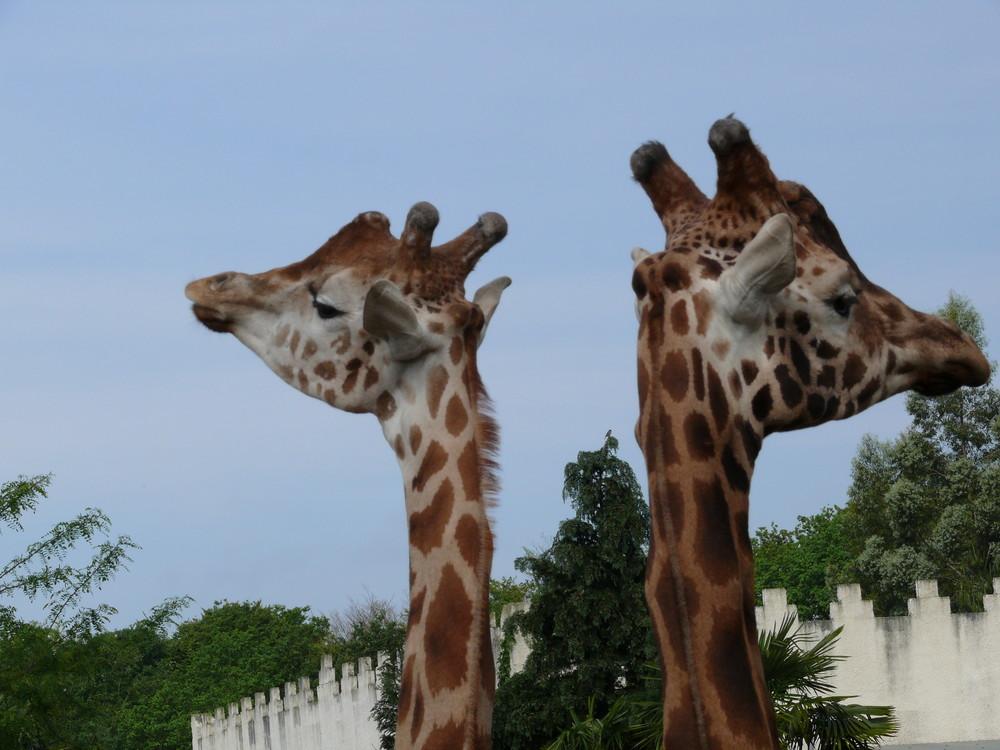 Le snobisme de la girafe.