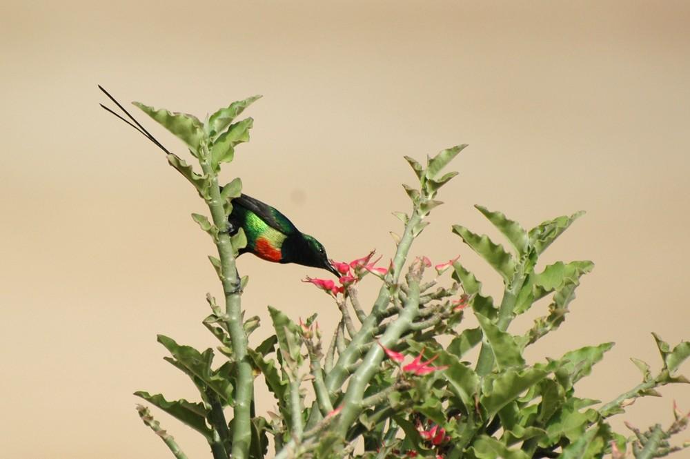 Le Souimanga du Sénégal