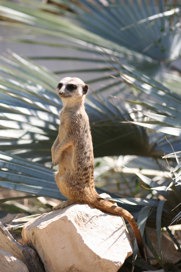 Le suricate