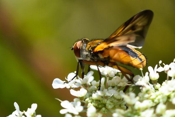 Le syrphe ceinturé Episyrphus balteatus