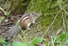 Le Tamia de sibérie ou écureuil de Corée