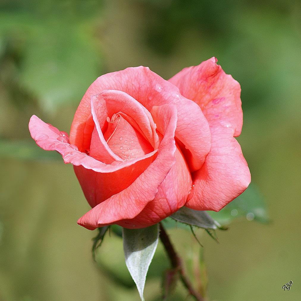 Le temps de roses..