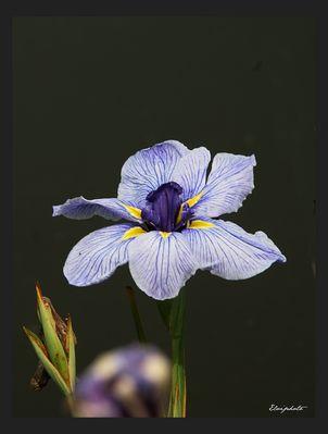 Le temps des iris