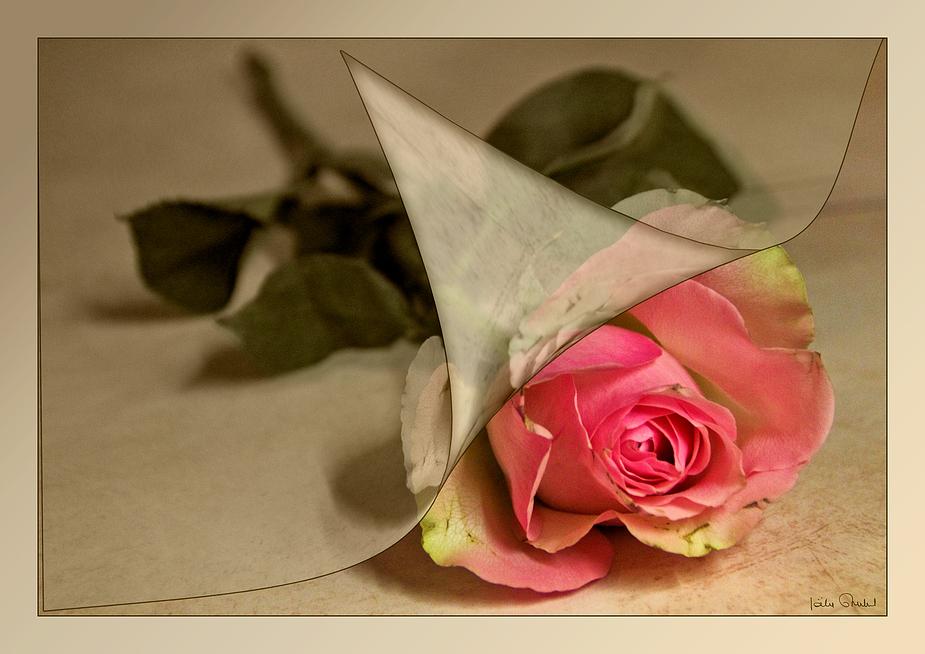 Le temps d'une rose .