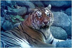 le tigre chasse la nuit.....