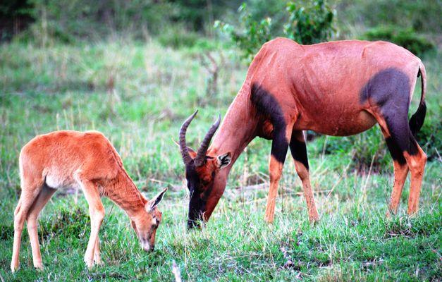 Le TOPI. Antilope en voie de disparition.