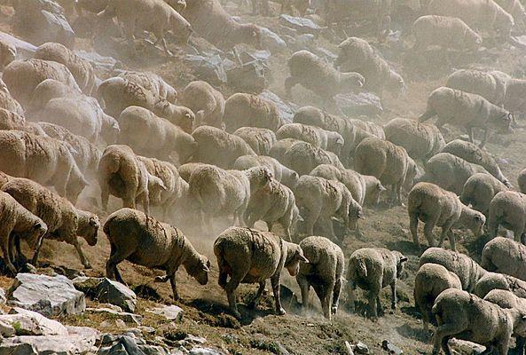 Le troupeau du Col des Champs