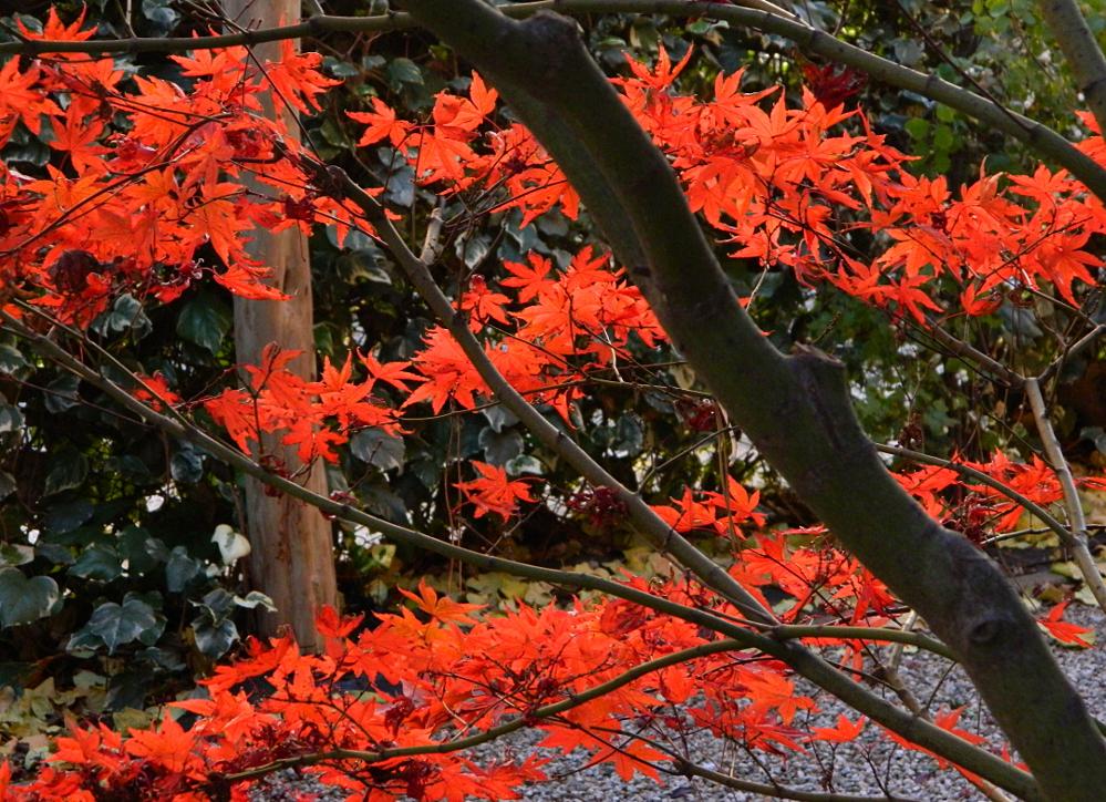 Le ultime foglie dell' acero