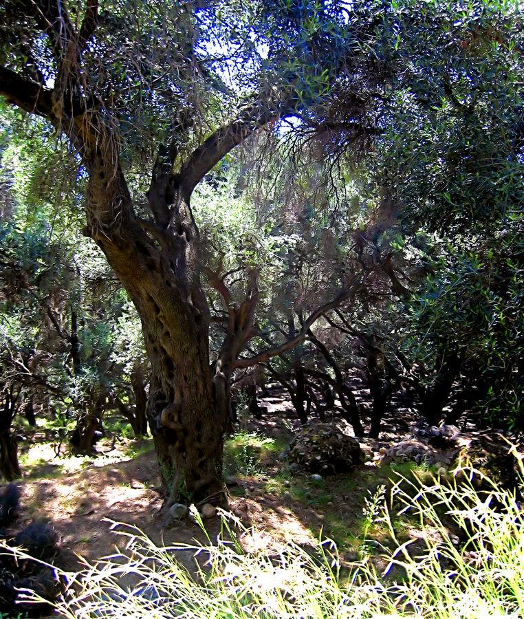 le vieille olivier