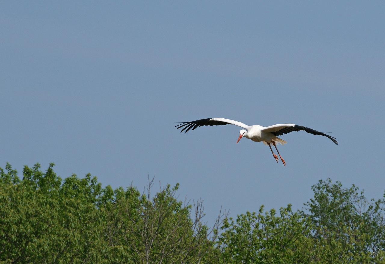 Le vol  de la cigogne