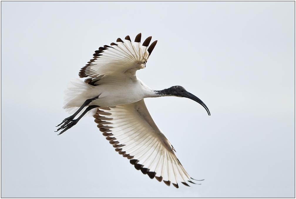 Le vol de l'ibis.