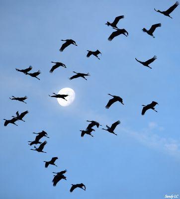 Le vol des grues