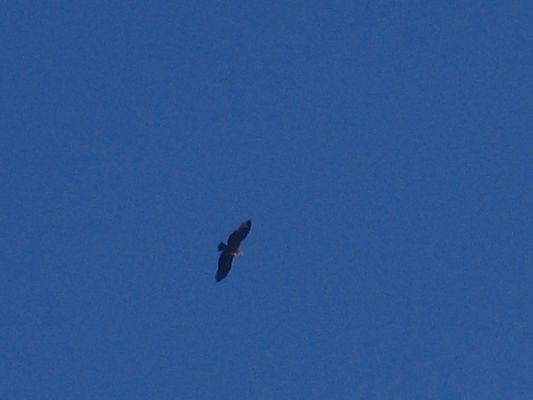 le vol du vautour