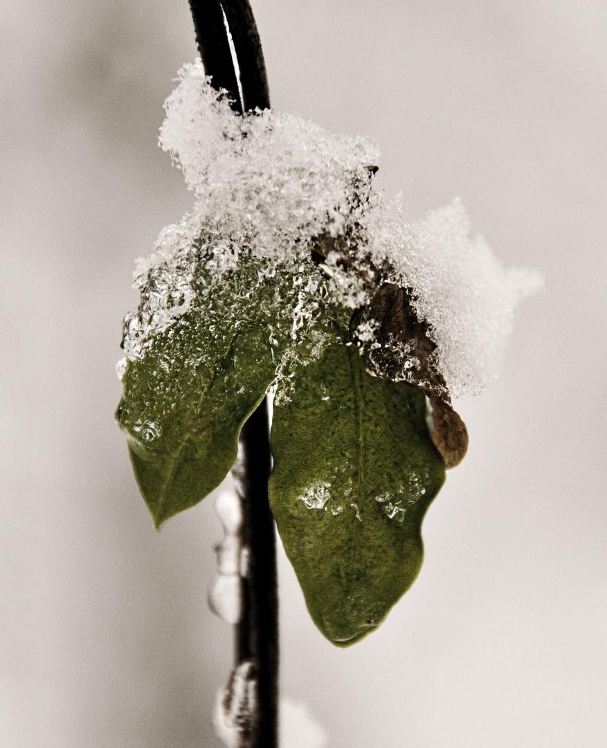 Leaf Iced