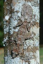 Leaf Tailed Gecko - Blattschwanz Gecko