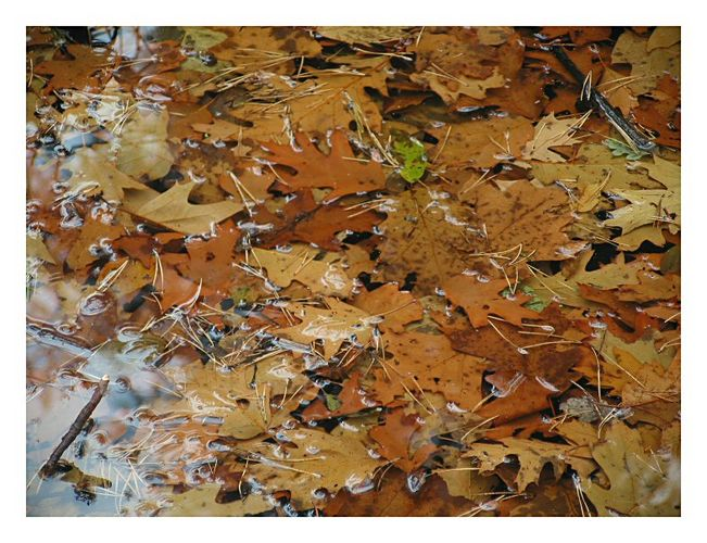 Leaves in ice-water