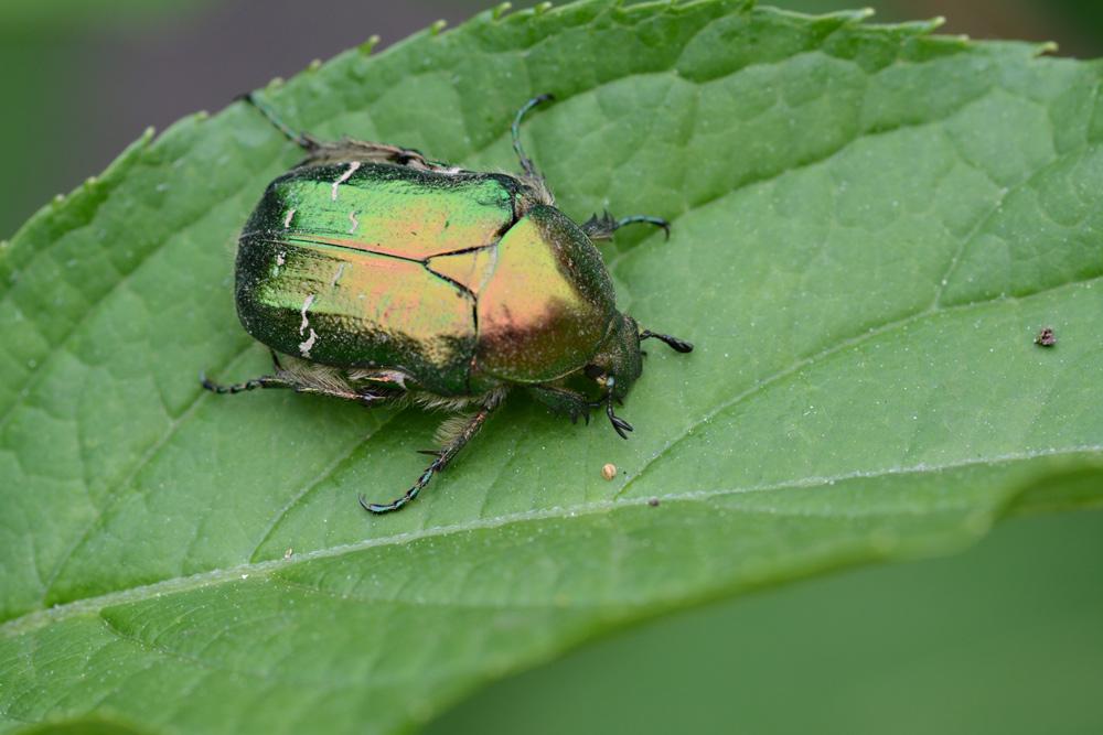 leben am teich 8 gr n gl nzend auf mattgr n rosenk fer foto bild tiere wildlife insekten. Black Bedroom Furniture Sets. Home Design Ideas