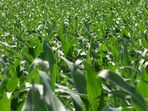 Leben im Maisfeld (2) und