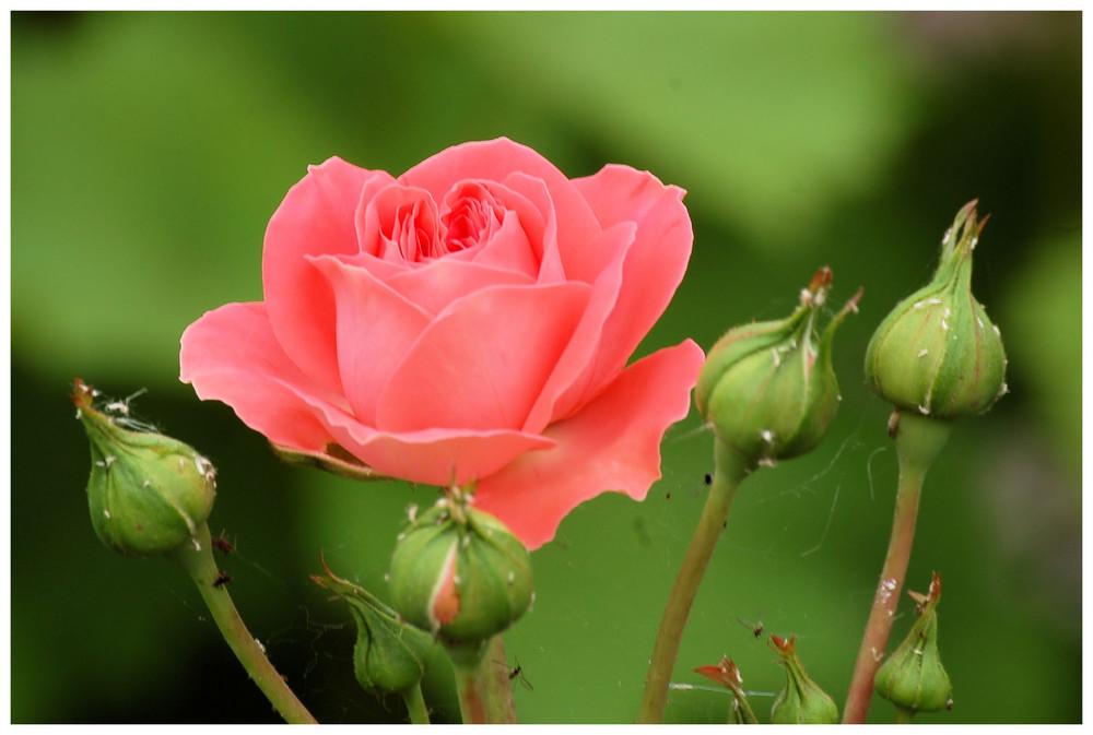 Leben im Rosenbusch