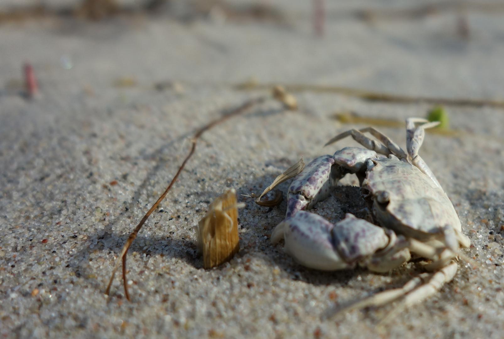 Leben und sterben an der Küste - kleine Strandkrabbe