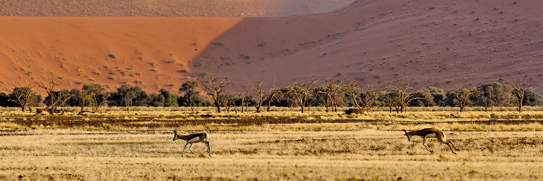 Lebensfreude? Springböcke in der Namib