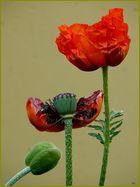 Lebenslauf einer Mohnblume