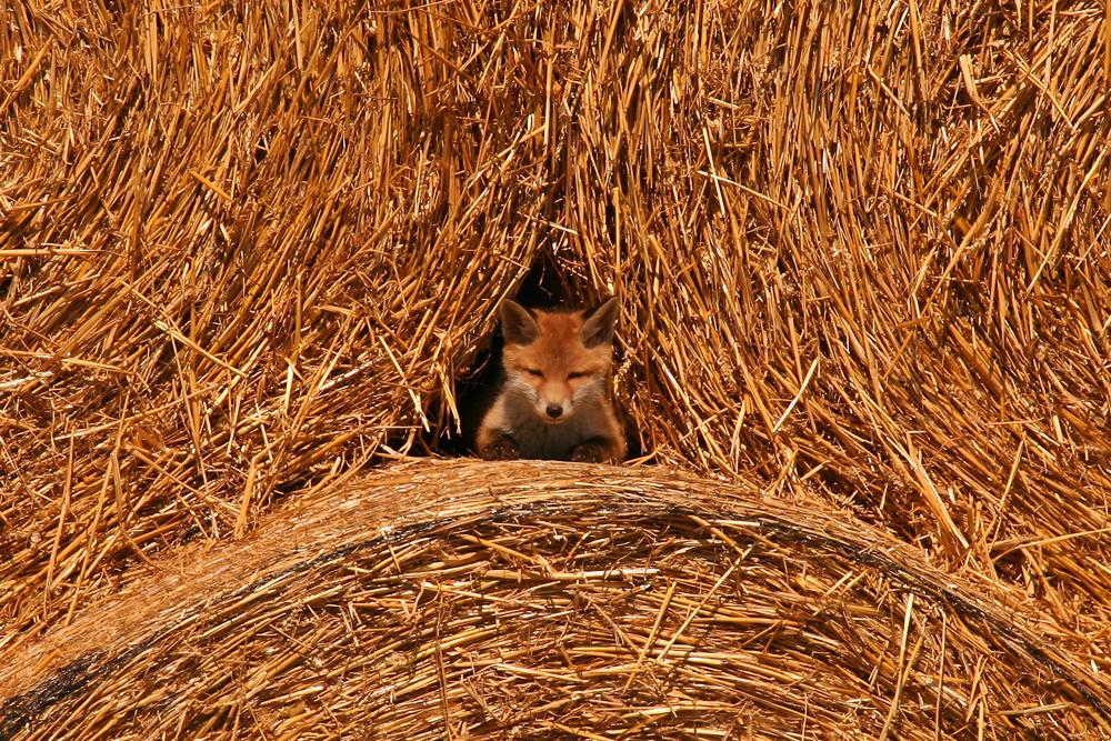 Lebensmittelpunkt eines Fuchswelpen