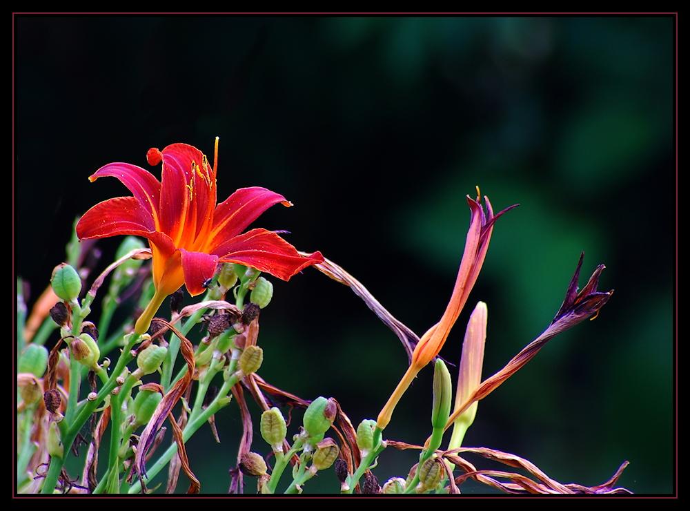 Lebenspunkte der Taglilien