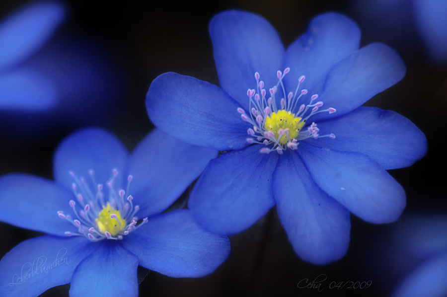 Leberblümchen 2