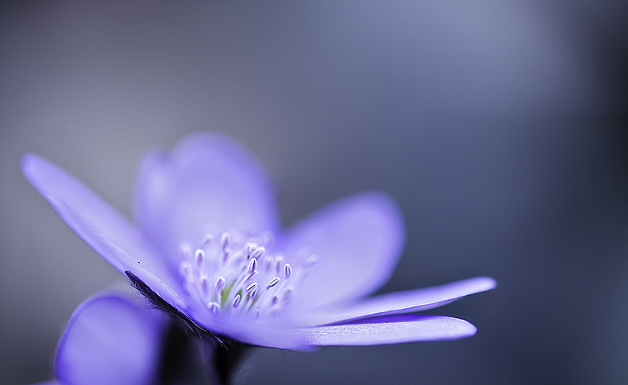 Leberblümchen 3