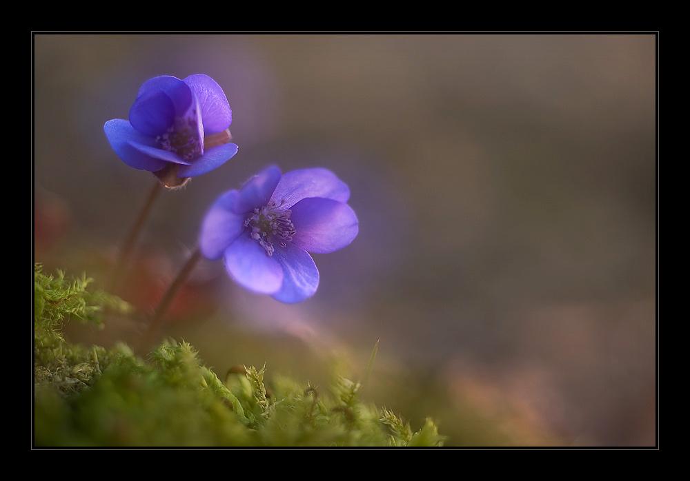 Leberblümchen...