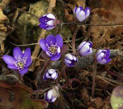Leberblümchen (Hepatica Nobilis) 'Blaue Töne'