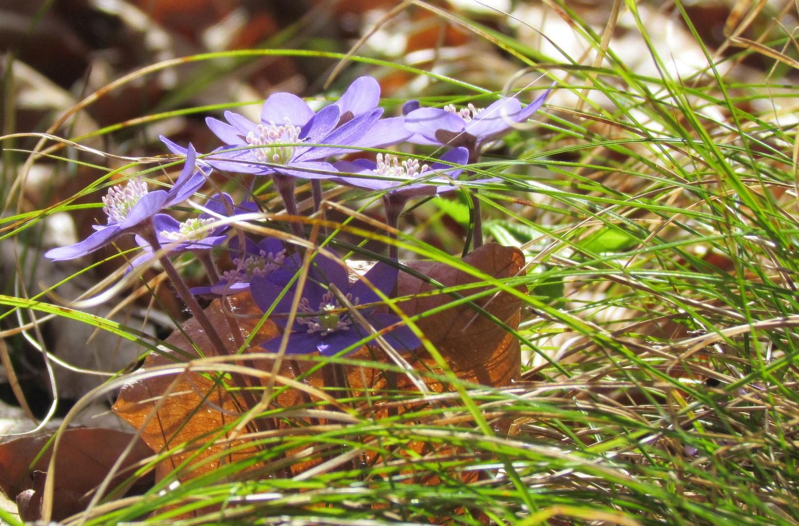 Leberblümchen im Gras