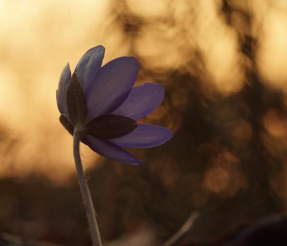 Leberblümchen im Sonnenuntergang