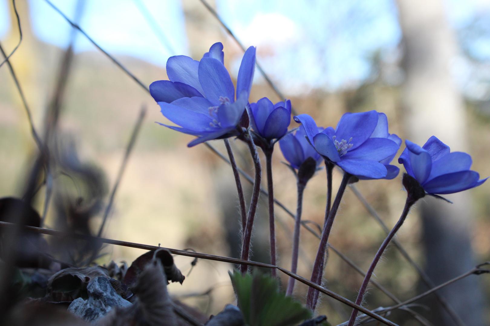 Leberblümchen strecken sich dem Frühling entgegen