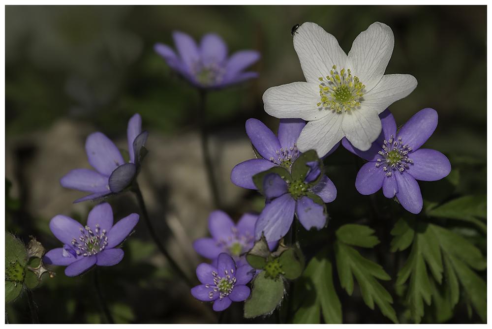 Leberblümchen und Co