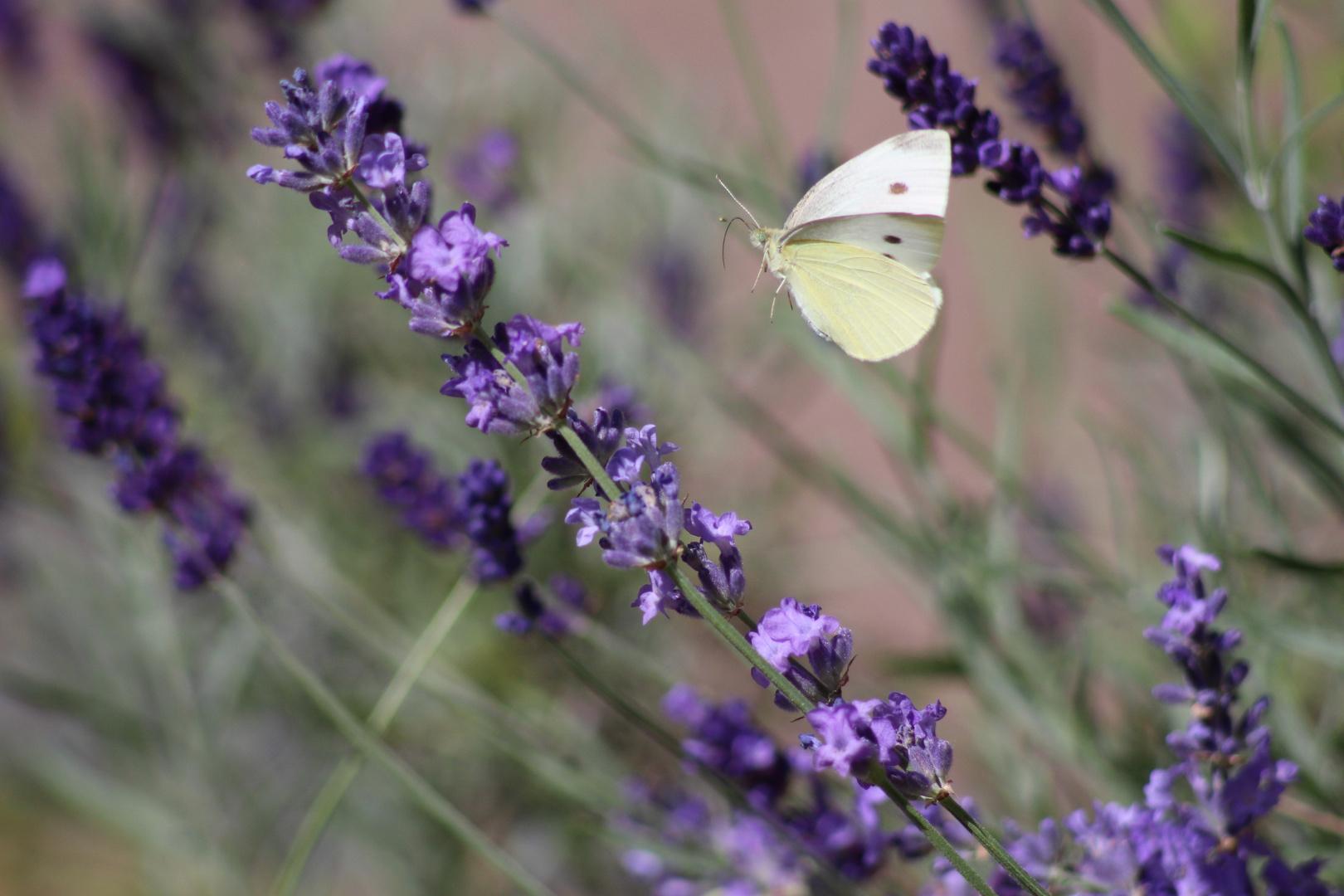 Lecker Lavendel