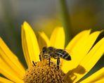 Lecker schleckig Honigbiene