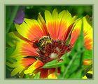 leckere Korkardenblume... wird gerade vernascht