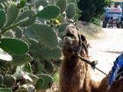 Lecker...Kaktus....