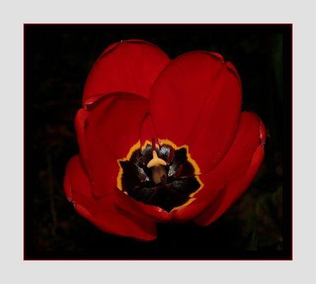 """"""" L'éclosion de la tulipe """""""