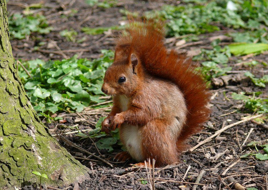 L'écureuil roux 1