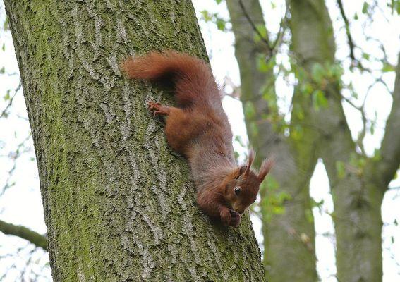 L'écureuil roux 2