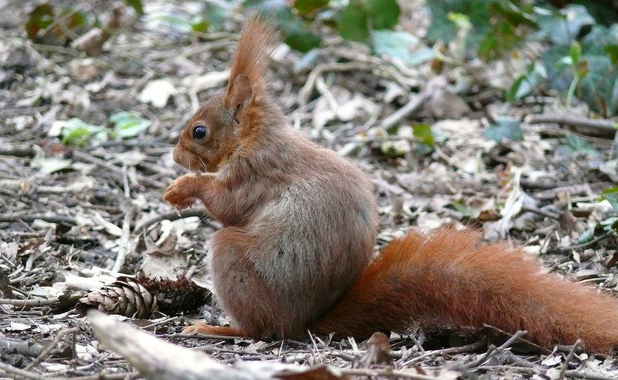 L'écureuil roux 3