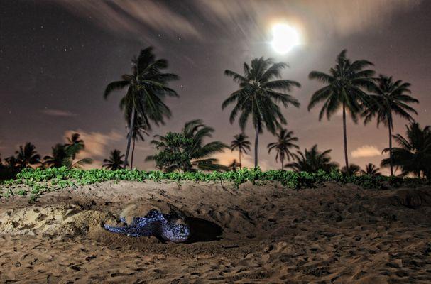Lederrückenschildkröte