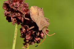 Lederwanze (Coreus marginatus)