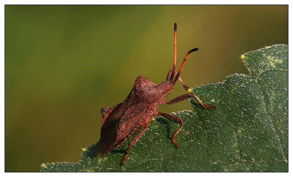Lederwanze (Familie Coreidae) Coreus marginatus.