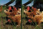Legehühner (3D-X)